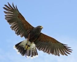 Harris Hawk by SnowPoring