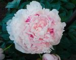 Peony Multi colors by charmedy