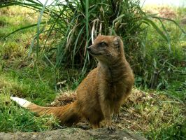 Yellow Mongoose by Sheppard56