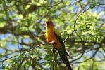 Yellow Parrot by astromechanic86