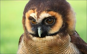 Brown wood owl. by Evey-Eyes