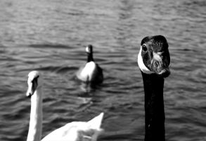 Swan Attention by saxondale