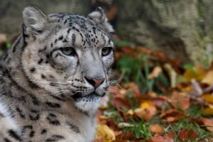 0407 - Snow Leopard by Jay-Co