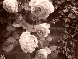 Sepia Roses by Holly-berry4