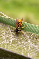 Wasp by cstm
