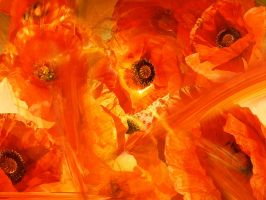 Poppies by digest21
