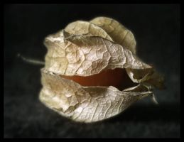 Cape Gooseberry by metal-monkee