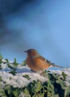 Male Chaffinch by Rustyoldtown