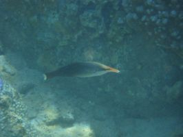 Female Bird Wrasse by FooDusty