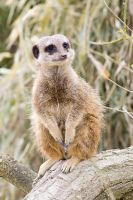 meerkat 4 by LonelyHashiriya