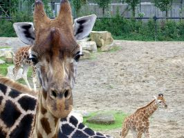 Giraffes Big and Small by JenniferMulkerrin