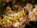 Grasshopper by a-kid-at-heart