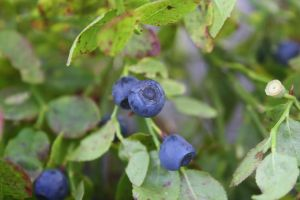Blueberries by Isabella3991