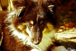 My Sheltie Puppie Torry by DucatiDeluxe