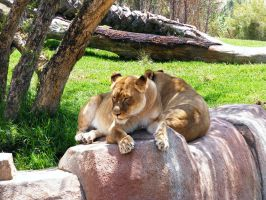 Lion Stock 1 by Arghel