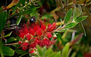 Bee and Bottlebrush by Allen59