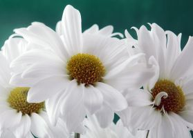dreamy daisies... by LucieG-Stock