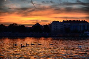 Swans' sunset by kay17ryan