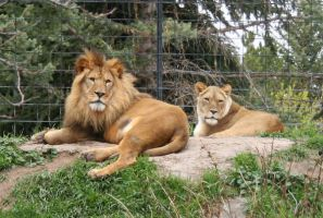 Tautphaus Zoo 79 Lions by Falln-Stock