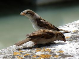 sparrows on a wall by Dieffi