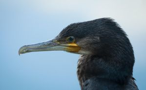 Great Black Cormorant 1 by Danimatie