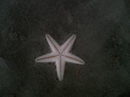 Star Fish by Shuberth