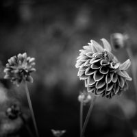 bw flower by spsera