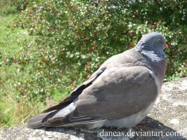 Pigeon by Daneas