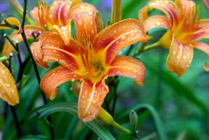 Day Lily 2 by drewii57