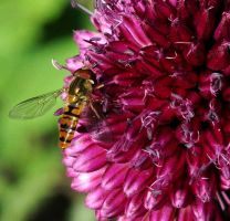 Hoverfly On Allium by Forestina-Fotos
