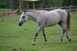 Gray Welsh Pony Stock1 by blue-eyed-book-lover