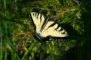 Swallowtail by EarthBerry