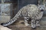 Snow Leopard Stock 19 by HOTNStock