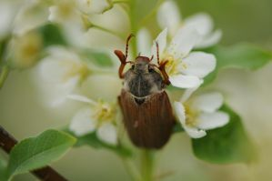 beetle and bird cherry 1 by maslenkina