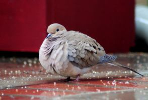 A dove in light rain by Razvan-Sedekiah