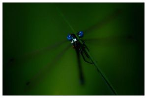Damselfly by aquapell