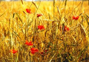 Papaver and Wheat by JollyStock