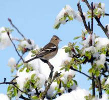 Female chaffinch in the apple tree by piglet365