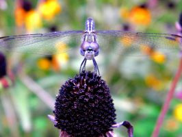 Dragonfly II by sabelby93