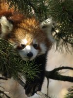 Red Panda Chilly Frost 3 by KodaSilverwing