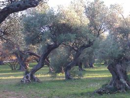 Old Olive Trees (7) by Torhval