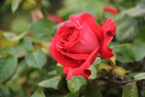 Red rose 4 by yasminstock