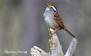 White throated sparrow by gigi50
