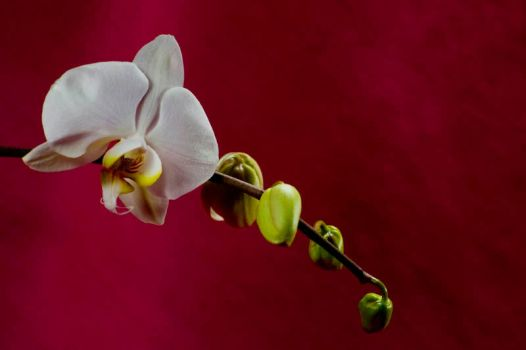 Orchid Bloom 9 by Art-Photo