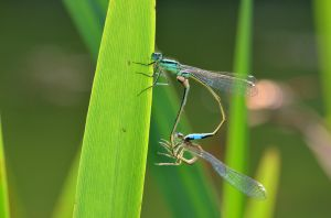 Damselfly couple by Lydiie