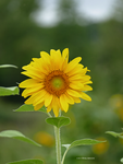 Centered sunflower by Mogrianne