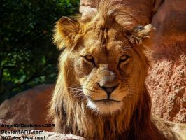 Stunning Barbary Lion - Male by AngelOfDarkness089