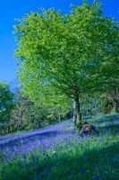 Bluebells by Sagereid
