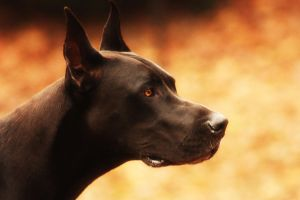 Great Dane Profile by GardenGirl3