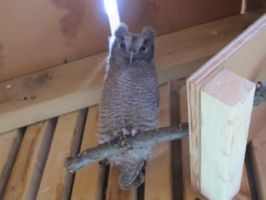 Scary Young Screech Owl 1 by Windthin